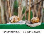 Helix Pomatia  Roman Snail ...