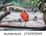 Ibises sit on a branch