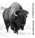 Wild American Bison In Colorado
