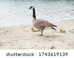 Mother Goose With Goslings At...