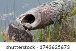 Small photo of Telltale signs of a tree felled by beavers at edge of a lake