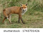 A Magnificent Male Wild Red Fox ...