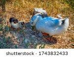 Beautiful Guinea Gooses On Walks