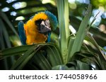 One Ara Parrot Sits With His...