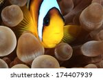 red sea clownfish with bright... | Shutterstock . vector #174407939