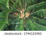 sago palm  cycas revoluta ....   Shutterstock . vector #1744131983