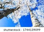 Winter Birch Tree Forest Snow...