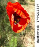 Red Poppy Flower With A...