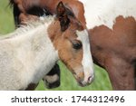 Wild chincoteague ponies of...