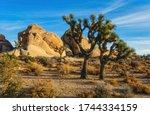 Sunlit Joshua Trees  Yucca...