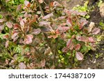 Wet Leaves Of A Shrub After...