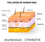 melanocyte and melanin. layers... | Shutterstock .eps vector #174446576