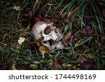 A Human Skull In The Grass Is...