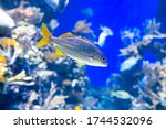 Coral reef fish with common name smallmouth grunt is floating into the Pacific Ocean