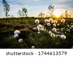 Cotton Grass Close Up In...