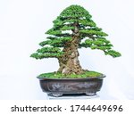 Green Bonsai Tree Isolated On...