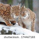 Beautiful Wild Lynx In Winter...