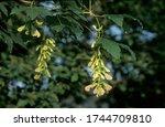 Small photo of Sycamore maple progeny Acer pseudoplatanus Germany