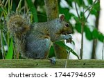 A Female Gray Squirrel Eating A ...