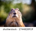 Standing Prairie Dog Face...