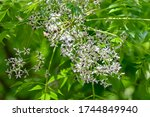 White Flowers Of Chinaberry Tree
