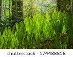fern bush in a forest   Shutterstock . vector #174488858