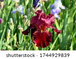 Maroon Bearded Iris In A Spring ...