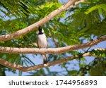 White Eared Bulbul Pycnonotus...