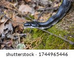 Black Rat Snake In Virginia's...