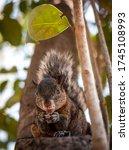 A Cute Brown Squirrel Sitting...