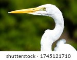 The Elegant Great Egret. Great...