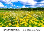 Summer Rural Meadow Flowers...