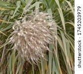 "The Flowerhead Of The ""cornish..."