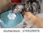 American shorthair cat is...