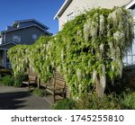 Wisteria With White Flowers...