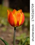 Red And Yellow Tulip With...