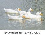 Four White Ducks Swimming...