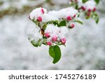 Blossoms Of Apple Trees Are...
