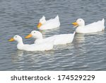 Four White Ducks Swimming To...