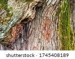 Brown Bark Of Oak Tree With...