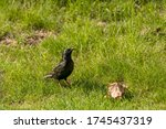 European Starling On The Meado...