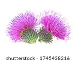 Two Flowers Of Milk Thistle...