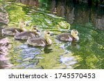 Four Baby Geese In A Pond