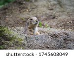 Prairie Dog Close Up In The Zoo