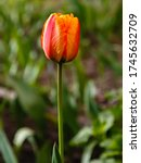 Red And Yellow Tulip In Spring...