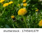 Yellow flowers of dandelions in ...