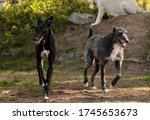 Two Lurcher Dogs Calmly Running ...