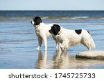 Two Giant Dogs On The Beach....