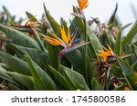 Tropical Flower Strelitzia Or...