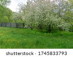 Small photo of Amazing blossoming apple tree in Mitino landscape park - . To my mind this apple tree exist before British landscape designer begin to work at park ( because the same apple trees exist